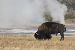 Yellowstone bison (rjonsen) Tags: bison geyser stean water wildlife animal yellowstone national park wyoming