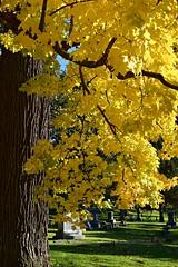 Autumn at Chippianock (David Sebben) Tags: autumn fall maple leaves sun chippianock cemetery rockisland illinois