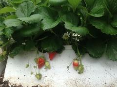 🌱🌿🍓 Moranguinhos Orgânicos 🍓o prazer de Plantar e colher! plante Você também. Siga-nos no YouTube Link na capa da Página #morango #morangueiro #morangos #strawberry #mundodasplantasnet #horta  #hortaliças #hortafacil #h (adriano270266) Tags: farm garden gardner strawberry orgânico morango morangueiros