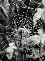 Spiders Web (Bury Gardener) Tags: burystedmunds suffolk eastanglia england uk people street spider