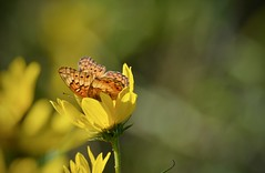 Petal enclosure. (Kreative Capture) Tags: butterfly insect fritillary wings petals maximillion sunflower yellow orange enclosed surrounded plant october autumn texas nikkor nikon drink hidden bokeh closeup nature sunlight morning dof pretty