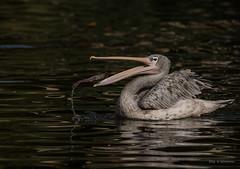 Ab ins Körbchen (wernerlohmanns) Tags: natur outdoor nikond750 sigma150600c schärfentiefe vögel wasservögel pelikane deutschland duisburgerzoo zoo