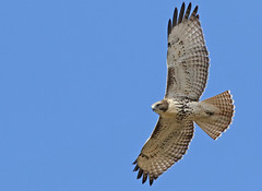 Red Tail Hawk (Bill G Moore) Tags: redtailhawk birdofprey naturephotography raptor wild wildlife sky blue canon colorado
