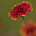 Blanketflower thumbnail