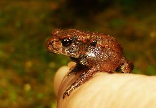 Teeny Weeny Toad..x