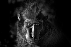 I've Got Wild Staring Eyes! (Alfred Grupstra) Tags: animal wildlife mammal animalsinthewild nature primate monkey blackcolor safarianimals baboon cute zoo endangeredspecies closeup ape outdoors tropicalrainforest fur looking japan