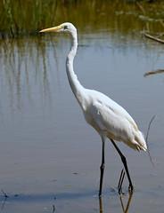 Great White Egret --- Ardea alba (creaturesnapper) Tags: danubedelta romania europe waterbirds birds egrets herons greatwhiteegret ardeaalba