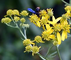 Blue-WingedWasp (T's PL) Tags: alongroanokerivergreenway bluewingedwasp d7200 nikon nikond7200 nikondslr roanoke roanokeroanoke va roanokeva tamron18400 nikontamron tamron18400mmf3563diiivchld tamron18400mmf3563diiivchldmodelb028tamron virginia yellowflowers