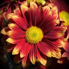 Friday's Flower Power (AnyMotion) Tags: chrysanthemum chrysantheme blossom blüte petals blütenblätter 2018 plants pflanzen anymotion macro makro nature natur blumen floral flowers frankfurt 6d canoneos6d vase colors colours farben red rot yellow gelb makroaufnahmen square 1600x1600