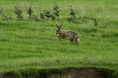Hare (Lepus europaeus) (Baldyal) Tags: brown hare mamal wildlife meadow l hawkstone park shropshire