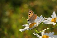 "IMG_012423 - Beautiful nature (Monique van Gompel) Tags: ""smallcopper"" nature natuur naturephotography vuurvlinder butterfly vlinder kleinevuurvlinder lycaena lycaenaphlaeas phlaeas macro"