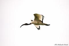 Ibis _003 (Rolando CRINITI) Tags: ibis uccelli uccello birds avifauna ornitologia castellapertole natura