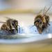 hungry bee-2