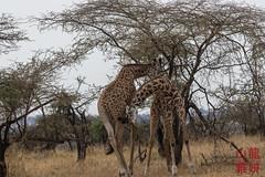 Giraffe Fight! (DragonSpeed) Tags: 28thkitsilanoscoutgroup 28thvancouverscoutgroup africanwildcatsexpeditions giraffacamelopardalistippelskirchi giraffefight maasaigiraffe masaigiraffe safari scouts scoutscanada serengetinationalpark tanzania tanzaniaexpedition2018 venturerscouts venturers mammal mara tz