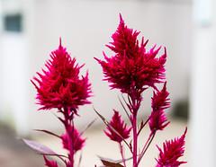 Red flowers (tokyobogue) Tags: tokyo japan ukimafunado ukimakoen koen park nikon nikond7100 d7100 sigma sigma1750mmexdcoshsm plants red flowers bokeh