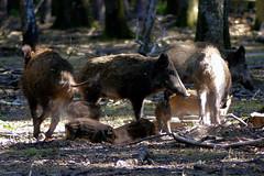 Sangliers (Raymonde Contensous) Tags: france yvelines sonchamp espacerambouillet forêt parcanimalier sangliers animaux nature bois