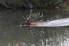Another Big Bull Elk Swimming Across Bear Creek (fethers1) Tags: elk bullelk evergreen bearcreek coloradowildlife