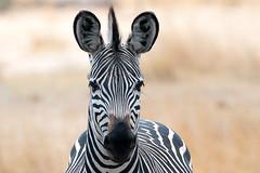 Crawshay's Zebra (sharon.verkuilen) Tags: zebra crawshayzebra nsefu southluangwa zambia africa safari
