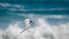 White-fronted tern with lunch (Stefan Marks) Tags: tasmansea animal bird fish flying nature ocean outdoor tern wave whitefrontedtern aucklandwaitakere northisland newzealand