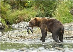 Lunchtime............... (KevinBJensen) Tags: wild animals life animal salmon bear water fishing fish
