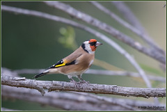 European Goldfinch 1473 (maguire33@verizon.net) Tags: cardueliscarduelis europeangoldfinch pradoregionalpark bird finch male wildlife