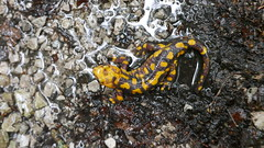 Feuersalamander (Aah-Yeah) Tags: feuersalamander firesalamander salamander salamandra schwanzlurch caudata achental chiemgau bayern