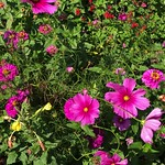 Wind blowing pink flowers in a garden thumbnail