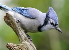 _A991301 (mbisgrove) Tags: bird a99m2 sony a99ii sal70400g2 jay blue bluejay