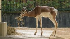 Dama or Mhorr gazelle, Zoo Frankfurt, Germany (Gösta Knochenhauer) Tags: 2018 october panasonic lumix fz1000 dmcfz1000 zoo frankfurt animal p9160881nik p9160881 nik dama mhorr gazelle germany nude naked male