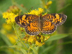 Pearl Crescent and Goldenrod (vischerferry) Tags: pearlcrescent lepidoptera goldenrod wildflower yellowwildflower newyorkstate