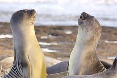 éléphant de mer (terraexperiences) Tags: elephant mer seal argentine valdes phoque phocid peninsule elephantdemer terraargentina argentina nature phocidé