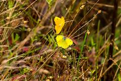 7K8A7581 (rpealit) Tags: scenery wildlife nature weldon brook management area orange sulphur butterfly
