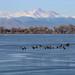 Geese at Barr Lake - Near Denver, Colorado