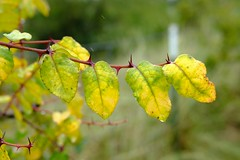 Fall Color in Light Rain (Gene Ellison) Tags: leaves green yellow branch red thorns raindrop nature fallcolor