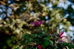 clematis (mannikon) Tags: fuji fujifilm xmount xtrans xpro2 konica ar hexanon 85mmf18 flowers clematis autumn bokeh rawtherapee filmsimulation velvia50 adaptedlens manualfocus