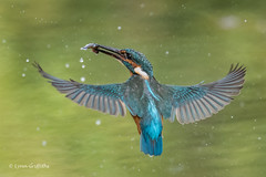 Successful dive D85_5465.jpg (Mobile Lynn) Tags: kingfisher birds nature alcedoatthis aves bird chordata coraciiformes fauna wildlife winchester england unitedkingdom gb