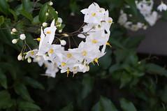 Flower (1ffischer) Tags: germany deutschland nrw nordrheinwestfalen 2018 minoltamc50mmf14 flower blume