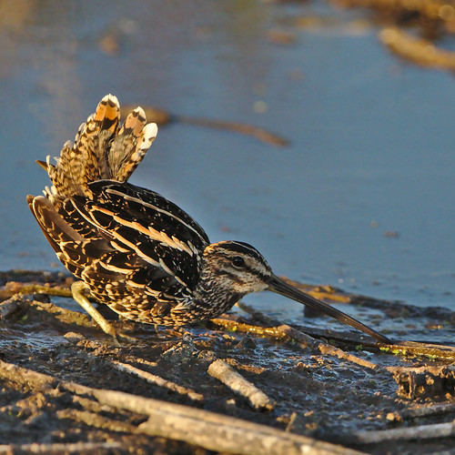 "African Snipe, Gallinago nigripennis at Marievale Nature Reserve, Gauteng, South Africa displaying its territorial behaviour. • <a style=""font-size:0.8em;"" href=""http://www.flickr.com/photos/93242958@N00/45449909082/"" target=""_blank"">View on Flickr</a>"