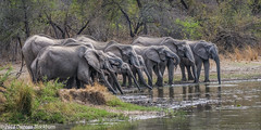 Group refreshment.... (Explore 27 October 2018) (Duncan Blackburn) Tags: 2018 big5 southafrica elephant mammal lakepanic kruger nikon nature wildlife ngc npc