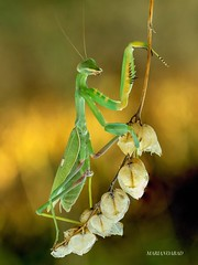 Mantis (marianoabad1) Tags: mantis mzuiko60mmmacro mzuiko em1markii olympus wildlife insects insectos fotografíadenaturaleza naturephotography nature fotografíamacro macro