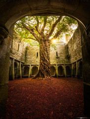 Muckross Abbey Tree of Life (Matt Anderson Photography) Tags: abbeymonastery archarchitecturalfeature architecture buildingexterior builtstructure castle cemetery christianity church cloudsky colorimage countykerry courtyard day death europe flower history horizontal house ireland killarneyireland killarneynationalparkireland loughleane monastery nopeople old oldruin outdoors overgrown panoramic photography plant religion religiouscross religioussymbol republicofireland sky spirituality tower tranquilscene traveldestinations tree weather druidism yew ancient england summer archway red green sunstar sunburst idyllic beautyinnature canopy patterns celtic gaelic