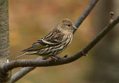 Pine Siskin-32w (egdc211) Tags: pinesiskin connecticutbird connecticutbirds canon connecticutwildlife connecticutbirding connecticutbirdpix birdwatcher bird backyardbirding birds naturewatcher newenglandbird nature newenglandbirds newenglandwildlife newenglandwildlifephotography ornithology outdoors