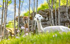 Nice Place for a Rest (Ranveig Marie Photography) Tags: bestebakken hafslo luster alpakka alpaca alpacas farm