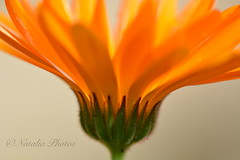 Bowl of fire (avnz101) Tags: flower nature bright calendula marigold orange colour fire macro closeup coth coth5 alittlebeauty ngc