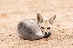Cape-fox (Peter Warne-Epping Forest) Tags: vulpeschama fox capefox southafrica peterwarne predator carnivore canine desert kgalagadinp