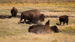 Buffalo Roll (San Francisco Gal) Tags: buffalo bison behavior animal mammal grass haydenvalley yellowstonenationalpark fauna