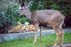 FY5 (beelzebub2011) Tags: canada britishcolumbia northvancouver street deer wildlife
