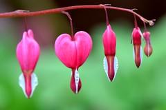 Bleeding Heart (Lamprocapnos spectabilis) (Seventh Heaven Photography **) Tags: garden flowers flora blooms bleeding heart lamprocapnos spectabilis pink nikon d3200