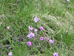 DSCN0075 (Gianluigi Roda / Photographer) Tags: springtime april 2013 wildflowers anemonehortensis
