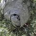 Bald-faced Hornet's nest